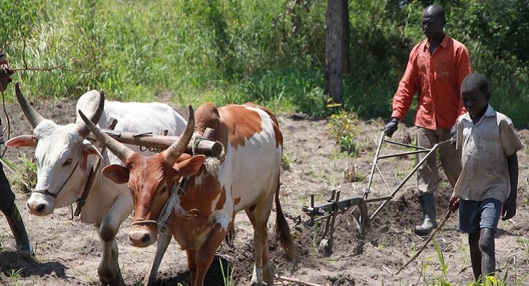 Härkä on uppiniskainen, mutta kouluttamalla ja tarkassa ohjauksessa se on hyvä vetojuhta. Kuva: Hilkka Hyrkkö