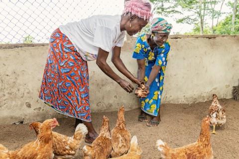 Musu Tuah (vas.) ja Mary Kequla pitävät kanoja yhteisessä kopissa. Kequlalla oli ennen ebolaa myös pieni bisnes, hän myi palmuöljyä tukkukauppiaalle ja osti kalaa kaupungista. Kalat hän kauppasi eteenpäin kylässä. Kuva:Ville Palonen.