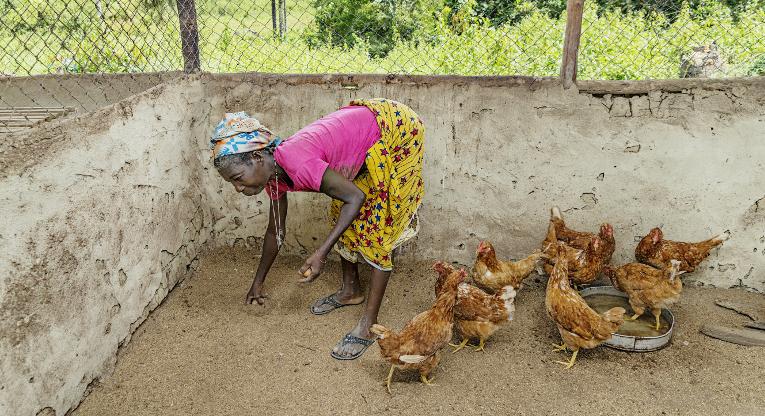 Tuah Mullbahs hönor klarade sig trots foderbristen som rådde under Ebolaepidemin. De fortsätter lägga ägg i mammaklubbens hönsgård i Gaemu. Bild: Ville Palonen.