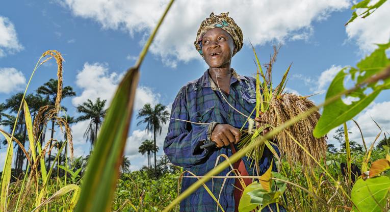 Omai Toka korjaa riisisatoaan Liberiassa.
