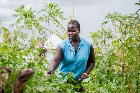 Muja Rose kerää munakoisoja kasvattamastaan keittiöpuutarhasta Bidibidin pakolaisasutusalueella. Viljely tuo tärkeää vaihtelua pakolaisten ruokavalioon, mutta viljely kivikkoisella maaperällä on haasteellista. Kuva: Kirkon Ulkomaanapu / Tatu Blomqvist