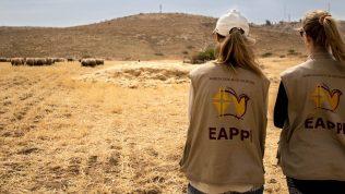 Kaksi EAPPI-liiveihin pukeutunutta henkilöä katsoo nurmella syöviä lampaita.