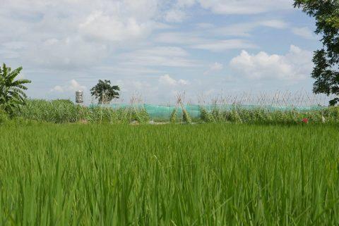 Riisipelto Kampong Speun provinssissa.