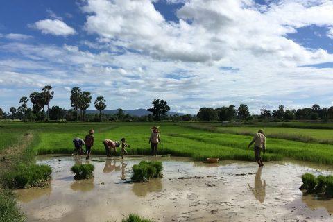 Riisipelto Kampong Speu provinssissa.