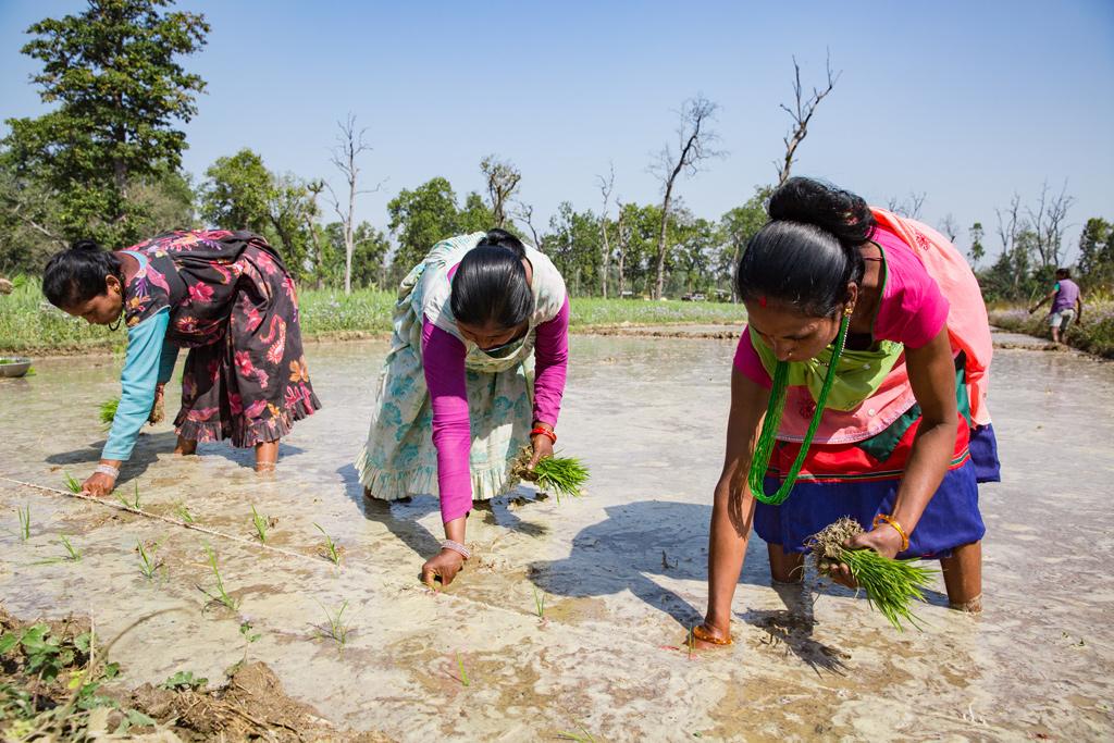 Kolme naista kylvää riisiä.