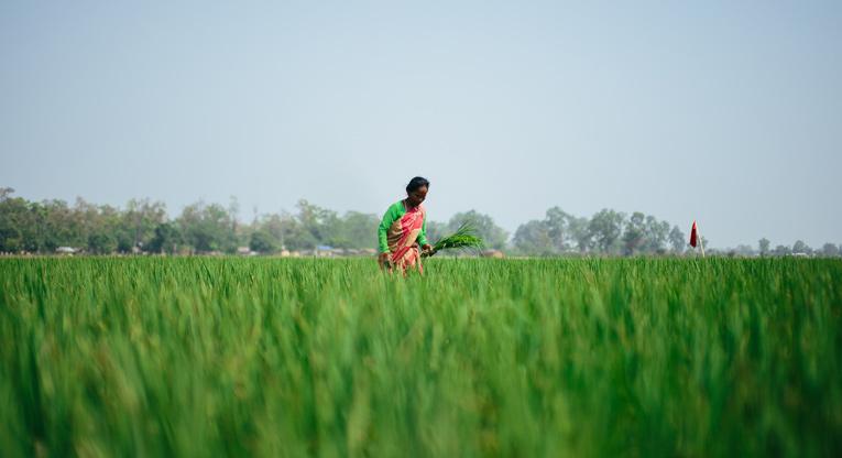 Nepalilainen nainen vehreällä pellollaan.
