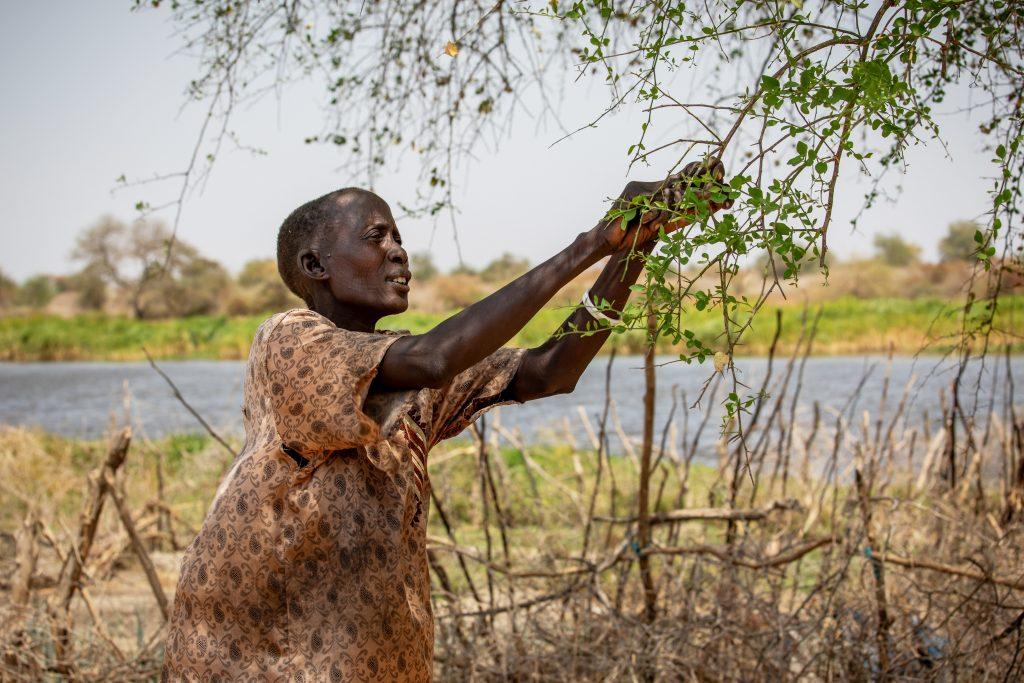 Ökendadeln har blivit en livlina för många i New Fangak. Nyaboth Liep Wang samlar blad från trädet.