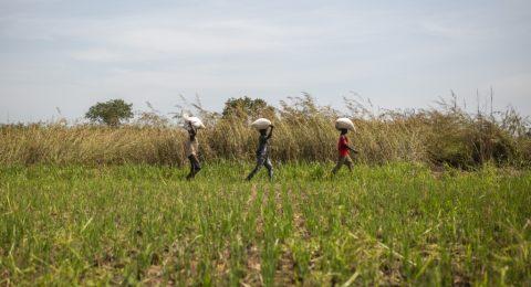 Kolme viljelijää kantaa säkkejä pellonreunassa.